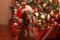Christmas Weimaraner!  Merry Christmas Card Puppy Holiday Dogs Santa Claus Dog Puppies Xmas