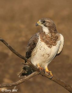Swainson's Hawks are long-distance migrants. In the summer they are found in Central and Western Canada and US.They winter as far south as the southern tip of South America.