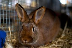 One of the most unique features of the Deilenaar Rabbit is its coloring, which is a red agouti hue that features black ticking and mackereling. Mini Lop Rabbit, Dwarf Rabbit, Rex Rabbit, Rabbit Types, Rabbit Breeds, Types Of Bunnies, Flemish Giant Rabbit, Netherland Dwarf, Holland Lop