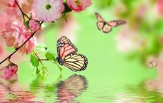 Wallpaper spring, blossom, pink, flowers, butterflies, refection ...