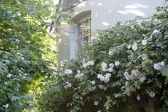 Monk's House is a few miles from Charleston in Sussex, the more well-known gathering place for Bloomsberries, hosted by Virginia's sister Vanessa. True to the local vernacular, part of the house is white weatherboard. This rendered (and shady) side is clad with Rosa 'Felicité et Perpetué.'