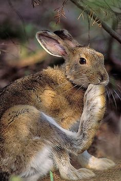 "As it lifts its foot to its head, this hare appears to be saying ""See this is why they call me a Snowshoe Hare"""