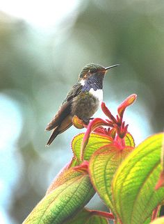 The Volcano Hummingbird (Selasphorus flammula) is a very small hummingbird which breeds only in the mountains of Costa Rica and Chiriqui, Panama.    This tiny endemic bird inhabits open brushy areas, paramo, and edges of elfin forest at altitudes from 1850 m to the highest peaks. It is only 7.5 cm long. The male weighs 2.5 g and the female 2.8 g. The black bill is short and straight.