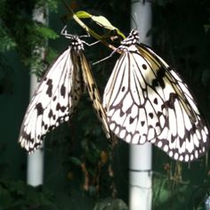 Pair of paper kites at the Peggy Notebaert Nature Museum Butterfly Haven.