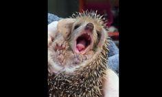 なんだか眠くなっちゃった 疲れたらあくびが出たハリネズミの赤ちゃん - http://naniomo.com/archives/7734