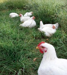 Raising chickens for meat.