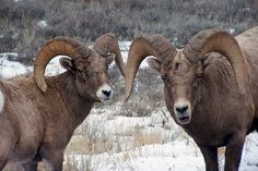 Two Rams on Elk Road, Jackson Hole