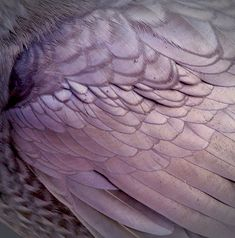 Purple feathers. winter has come