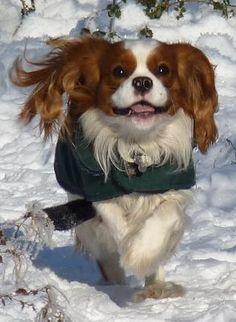 Blenheim Cavalier King Charles Running in the Snow
