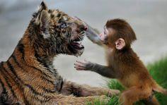 Junger Rhesusaffe mit Tigerkind (im Zoo der chinesischen Stadt Hefei, August 2012): Eine wichtige Voraussetzung dafür, etwas lustig zu finden, sei in vielen Fällen, sich in andere hineinversetzen zu können, sagt Forscher Byrne.