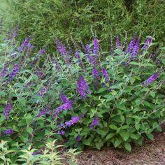 Lo & Behold Blue Chip Jr. Buddleia (Buddleia davidii Lo and Behold Blue Chip Jr) at Wayside Gardens