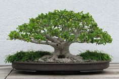 Image detail for -Bonsai Pics Bonsai Picture Gallery Plant Pictures Bonsai Photos