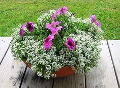 Lobularia maritima (Sweet Alyssum 'Carpet of Snow') Wildflower Seeds.The most versatile edging plant !
