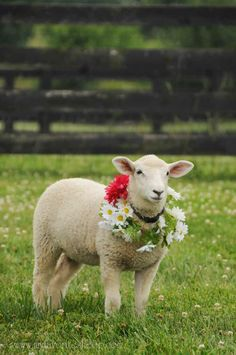 A pretty Sheep - washed, neatly sheered, and adored in flowers for a portrait. Must be a valued sheep on the farm. Beautiful Creatures, Animals Beautiful, Farm Animals, Cute Animals, Pet Sheep, Cute Lamb, Sheep And Lamb, Counting Sheep, Mundo Animal