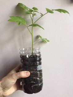 plant de tomate en bouteille