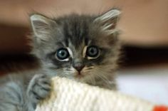 """""""Pure Beings"""" — Cute fu baby!!! ❤ Cat Tip: Bringing a new kitten..."""
