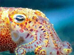 cuttlefish with gorgeous colors If I ever got a tattoo it would be his guy or a blue ringed octopus. Ocean Creatures, All Gods Creatures, Kraken, Octopus Squid, Life Under The Sea, Cuttlefish, Life Aquatic, Tentacle, Ocean Life