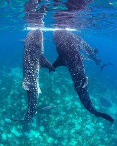 Whale Shark Gathering photo by Jeffrey de Guzman, Ocean Magazine Beautiful Sea Creatures, Animals Beautiful, Cute Animals, Animals Sea, Beautiful Things, Underwater Creatures, Ocean Creatures, Underwater Life, Save The Sharks