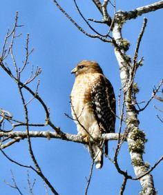 SC South Carolina Bird Pictures Page: Prey Birds