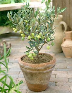 Oliivipuu - Viherpeukalot