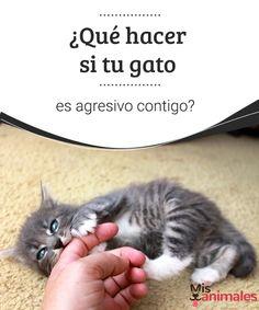 ¿Qué hacer si tu gato es agresivo contigo?  Que tu gato se ponga agresivo contigo puede ponerte en una tesitura importante. Saber cómo reaccionar en estos casos es vital para tu seguridad. #agresividad #felino #vital #adiestramiento