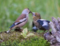 Gepind vanaf vroegevogels.vara.nl - Appelvink