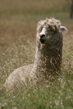 Alpacas make great guards for goats.