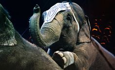 Huge Bill That Would Ban Wild Animals in Circuses is Back - TAKE ACTION!  You can show your support for this critical legislation by signing and sharing the petition asking Congress to pass the Traveling Exotic Animal and Public Safety Protection Act  For more on how to help animals in circuses, check out Stop Circus Suffering.