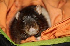 My beautiful rat looks me Les Rats, Rat Look, Animals, Beautiful, Dumbo Rat, Parakeet, Ride Or Die, Animales, Animaux