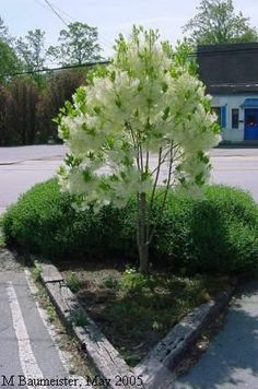 Chionanthus virginicus --- fringe tree, old man's beard. Planting Shrubs, Garden Shrubs, Landscaping Plants, Planting Flowers, Trees And Shrubs, Flowering Trees, Trees To Plant, Australian Native Garden, Australian Plants