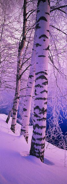 Birch trees at the frozen riverside, Vuoksi River, Imatra, Finland