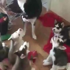 Teaching everybody how to howl properly.-Teaching everybody how to howl properly. It's official. Huskies are the crackheads of the dog breed. Cute Funny Dogs, Cute Funny Animals, Cute Baby Animals, Animals And Pets, Wild Animals, Cute Animal Videos, Cute Creatures, Animal Memes, Cute Puppies