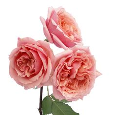 Garden Rose Soft Pink Ohara is a delicate, creamy pink that will wow you with its understated beauty. Sweet and exquisite, this flower has a gently ruffled head and opens into a full, breathtaking bloom. Demure as a gently refined lady, this rose is perfect for a baby shower, ladies luncheon or...