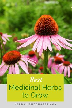 Discover the echinacea benefits which are well known in the practice of herbalism. It helps to boost the immune system for colds and flu as well as respiratory infections. Learn how to take a tincture or tea. Herbal Remedies, Natural Remedies, Holistic Remedies, Flu Remedies, Health Remedies, Organic Gardening, Gardening Tips, Indoor Gardening, Vegetable Gardening