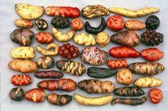 Bolivia posee mas de 600 variedades de papa: de formas alargadas, aplanadas, redondas, comprimidas, con ojos profundos; de colores de piel amarilla, roja, rosada, morada, negra, gris