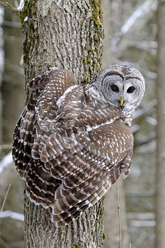 ~~Hunts by day unlike most owls, especially dust + dawn hours. Barred Owl! by Steve Courson~~