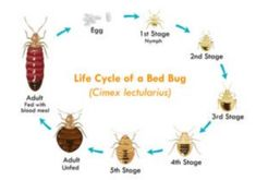 Everything you've ever wanted to know about bed bugs and more! How often do bed bugs bite? Where do bed bugs come from? How big are bed bugs? Best Pest Control, Pest Control Services, Bug Control, Bed Bugs Pictures, Rid Of Bed Bugs, Bed Bug Bites, Termite Control, Life Cycles, Paper Flowers