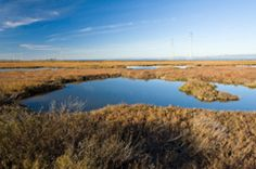 Santa Venetia Marsh in San Rafael - lets protect this valuable space for future wildlife and generations to appreciate!