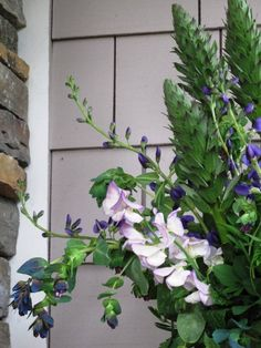 This week I couldn't take my eyes off the gorgeous flower stalks of two bear's breech plants ( Acanthus mollis) growing between our back porch and the pond in a shady area. Acanthus, Perennials, Design Projects, Floral Design, Challenges, Flowers, Plants, Floral Patterns, Plant