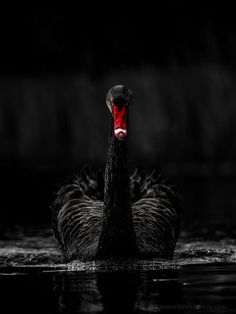 Black swan  The black swans in Ravensblood are decorative, but literal.  Had a bit of a moment when I found out that they are only native to Australia, but a little more research uncovered that they have naturalized in the UK, so it is entirely possible that a few naturalized from a distant Ravenscroft ancestor's menagerie.  Author site: www.Shawna-Reppert.com