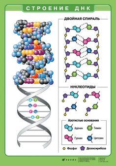 Строение ДНК. Nursing Courses, Human Dna, Cell Biology, Medical Art, Biochemistry, Anatomy And Physiology, Study Motivation, Science And Nature, Kids Education