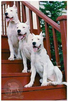 Dogo Argentino / Argentinian Mastiff one of many dream dogs