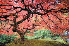 Great article on pruning Japanese Maples. This tree is in the Portland Japanese Garden. Photograph by Richard Stanton. Japenese Maple, Japenese Garden, Pruning Japanese Maples, Georg Christoph Lichtenberg, Portland Japanese Garden, Japanese Maple Garden, Acer Palmatum, All Nature, Autumn Photography