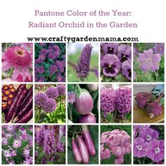 Pantone Color of the Year Radiant Orchid in the Garden - Crafty Garden Mama