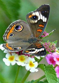 Nature's Beauty! Buckeye Butterfly