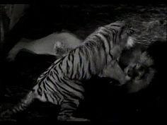 Perkelahian Singa vs Harimau Sampai Mati   Pertarungan Hewan Buas   Vide...