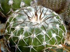 Discocactus serensis