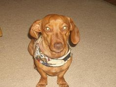 Lexi. Cute dachshund available for adoption with Furever Dachshund Rescue.