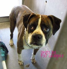 URGENT - A4694548 my name is Bruno. I am a 5 yr old male white/br brindle Boxer mix. I came to the shelter as a stray on April 8. Available 4/12/14. Baldwin Park shelter Open for Adoptions 7 days a Week 4275 Elton Street, Baldwin Park, California 91706 Phone 626 430 2378 https://www.facebook.com/photo.php?fbid=763386630339843&set=a.705235432821630&type=3&theater