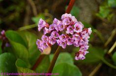 El jardín de la alegría : Hortensia de invierno (Bergenia cordifolia o Berge...